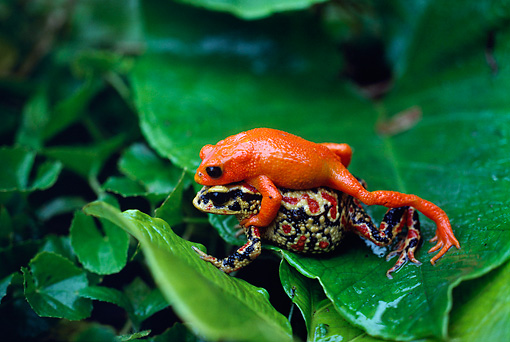 golden toad facts habitat pictures and diet