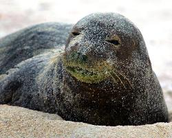 Caribbean Monk Seal Facts Habitat Pictures And Diet