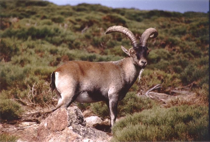 Resultado de imagem para pyrenean ibex