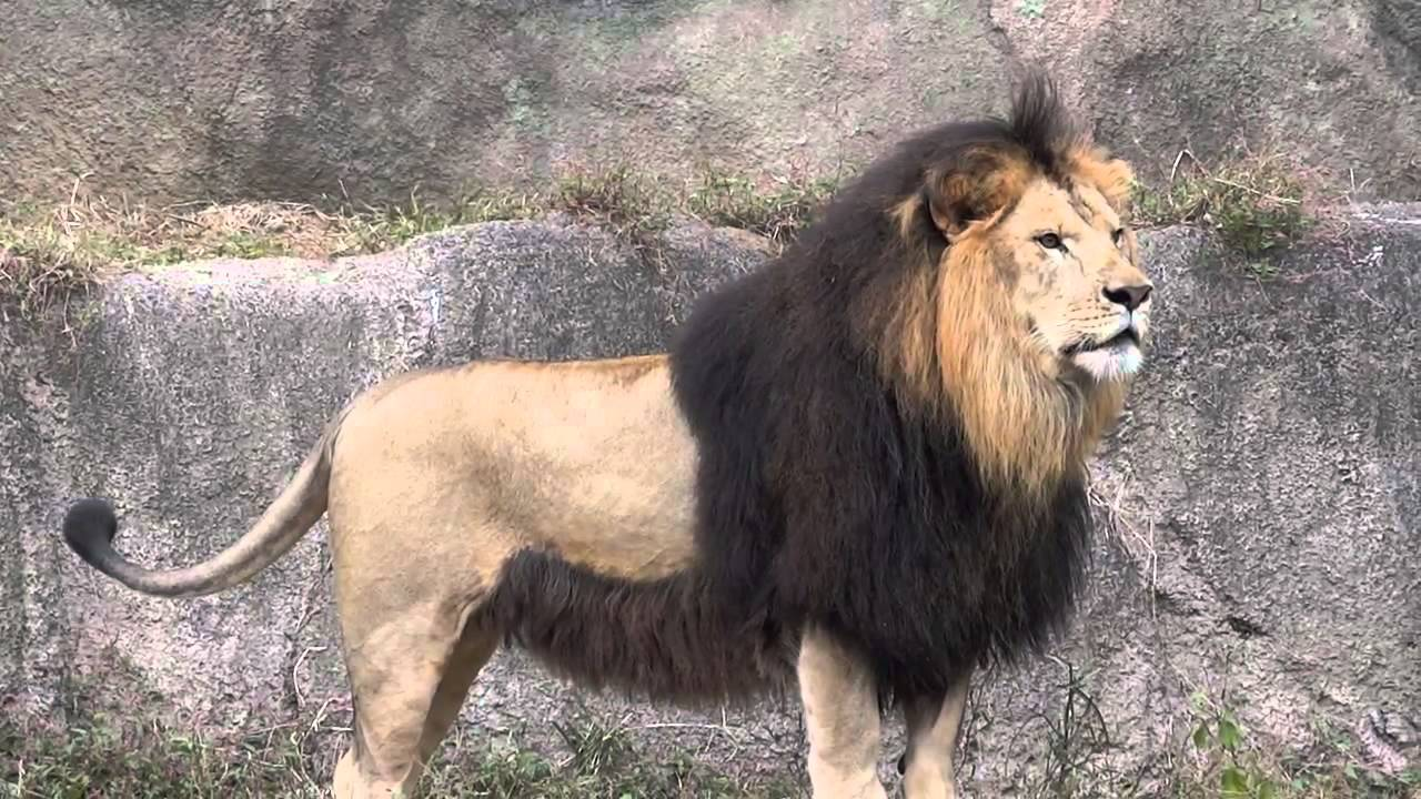 The extinct subspecies is the barbarian lion