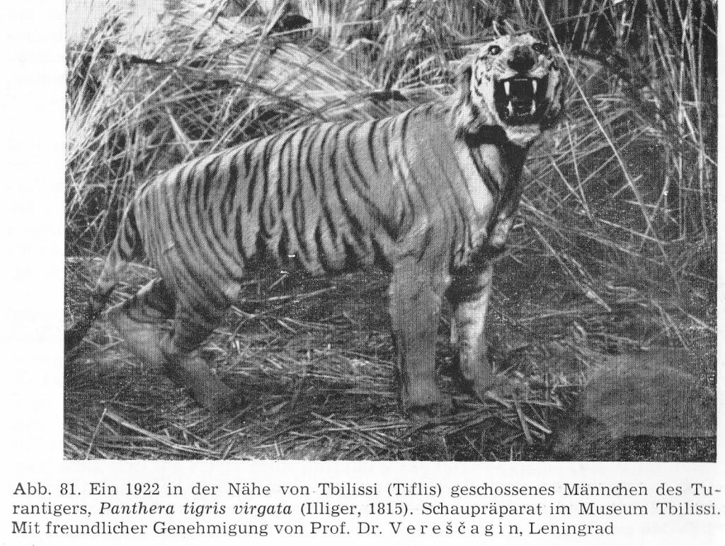 Caspian Tiger | Extinct Animals