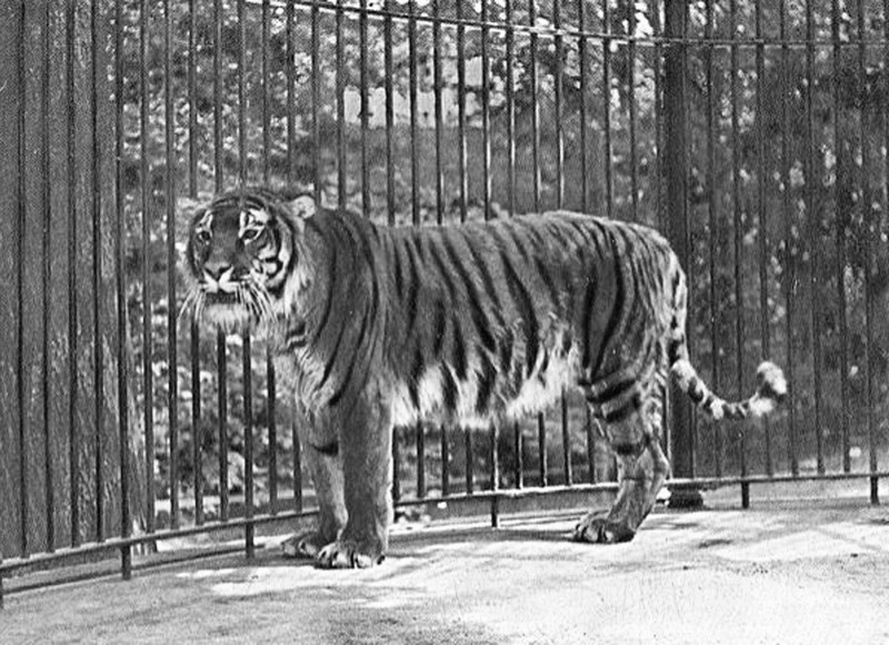Caspian Tiger | Extinct Animals