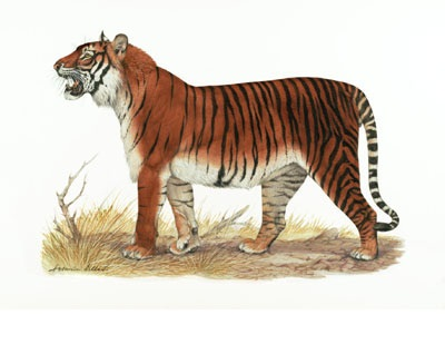 Bali Tiger Facts Habitat Last Sightings Pictures And Diet