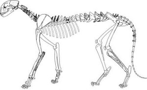 American Cheetah Skeleton