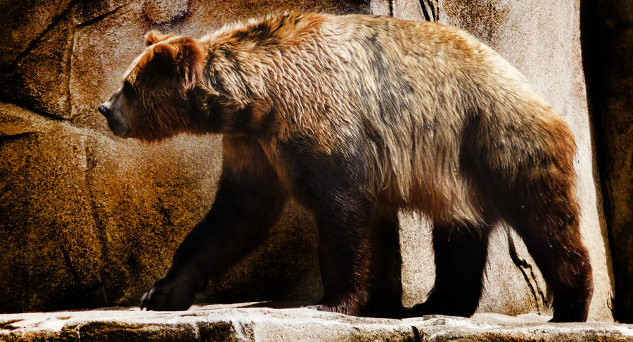 Short Faced Bear Facts, Habitat, Pictures and Diet