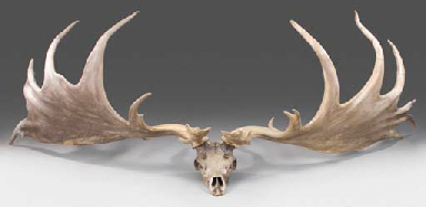 Irish Elk | Extinct Animals