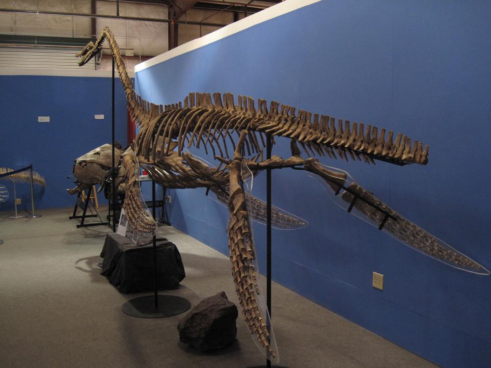 Elasmosaurus Facts, Adaptation, Classification and Species