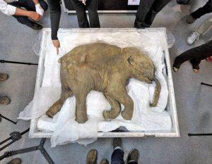 Woolly Mammoth Frozen Extinct Animals