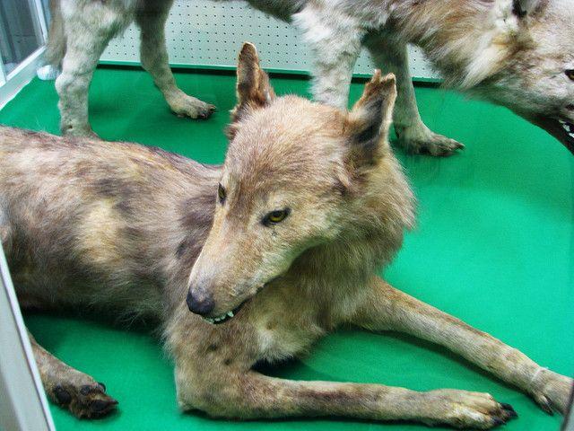 Hokkaido Wolf Facts, Habitat, Diet, Fossils, Pictures