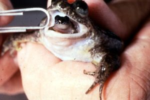 Extinct Animal Gastric Brooding Frog