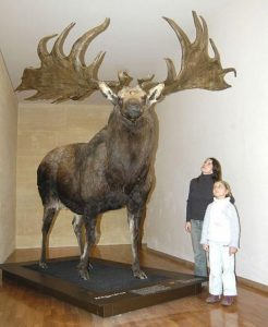 Irish Elk Extinct Animal