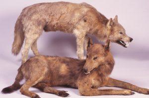Japanese Honshu Wolf