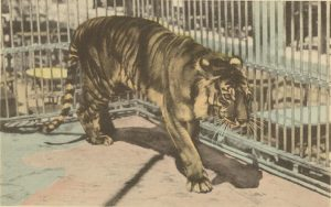 Javan Tiger Extinct Animal