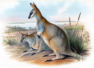 Toolache Wallaby Extinct Animal