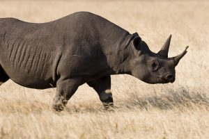 Western Black Rhinoceros Extinct Animal